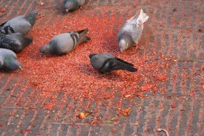 Pigeons Feeding on Coloured Grain