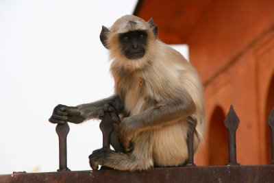 Resident Langur Monkey at Amber Fort