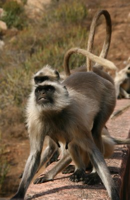Irritated Langur Monkey
