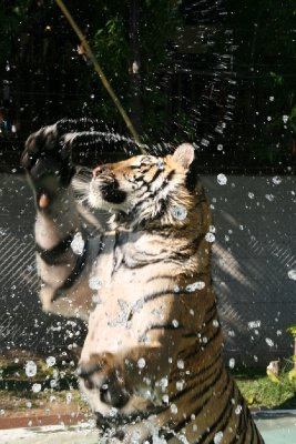 This Tiger was Definately Not High!
