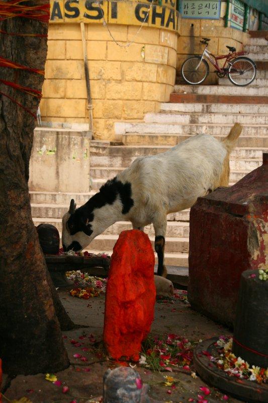 Goat Feasting on Petals