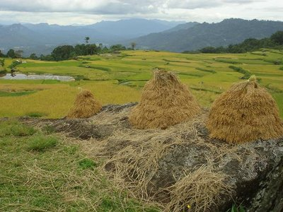Tana Toraja Rice Fields