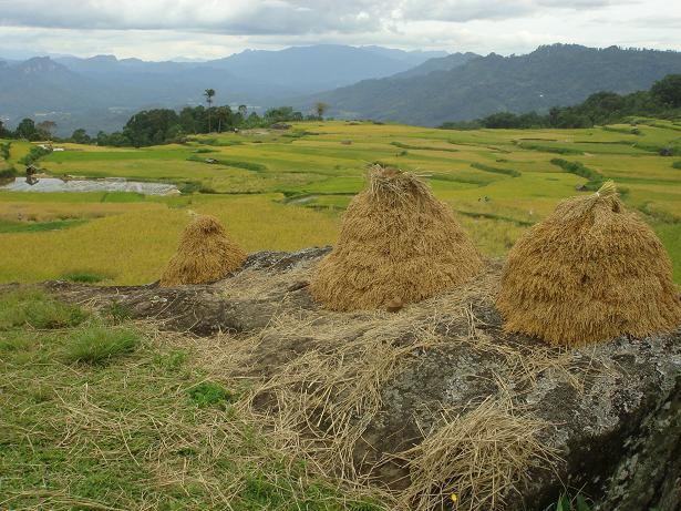 Tana Toraja Rice Fields