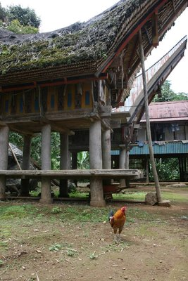 Fighting cock in Sulawesi