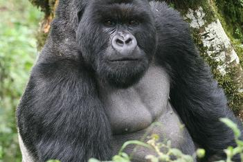 Silverback of Susa group