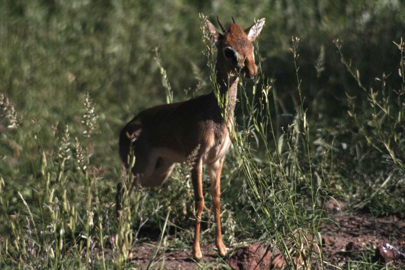 Dik Dik