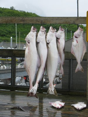 Several of our Caravan group went fishing today.  These are Halibuts....they caught several Cod fish also.