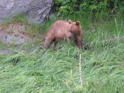 Young Grizzley (brown bear).  Never saw the mama bear.