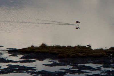 Lone Flamingo with Reflection