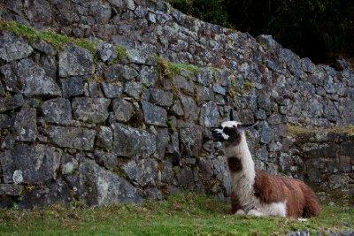 Llama at the Sun Gate