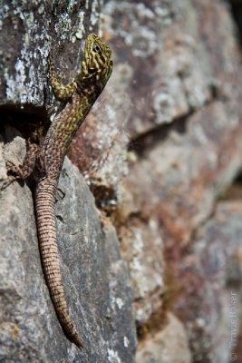 Lizard in Machu Picchu