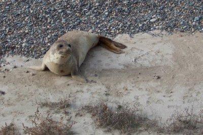 Baby Elephant Seals