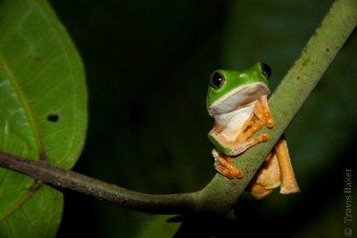 Cat-eye Monkey Frog