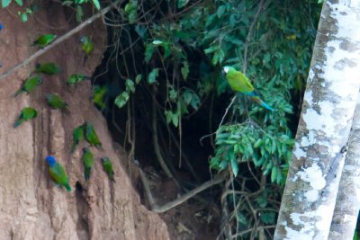 Parrots and Macaws at the Clay Lick