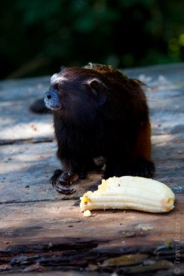 Tamarind Monkey eating a banana