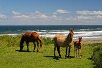 Chiloe_Horses.jpg