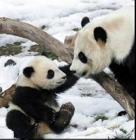 baby_panda.jpg