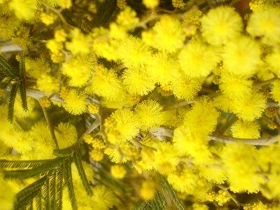 Mimosa flowering