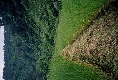 Mountain Rice