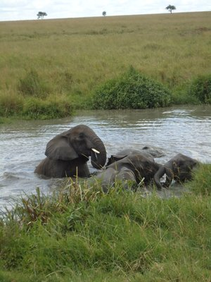 Elephants playing in the water!