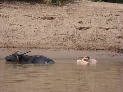 White and black water buffalo chilling as we go past!