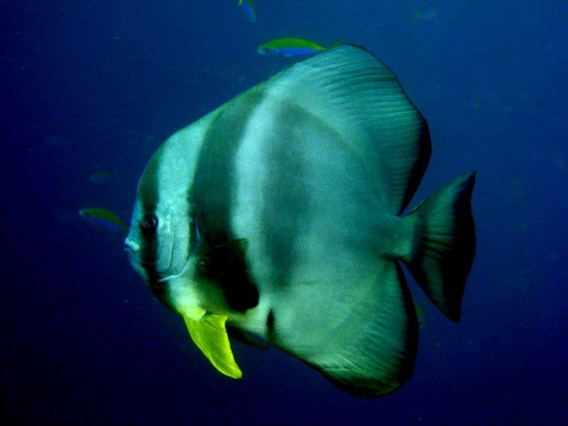 Bat fish - my favourite - Taken by me :)