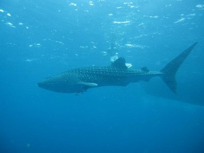 The whale shark - Photo taken by Kev