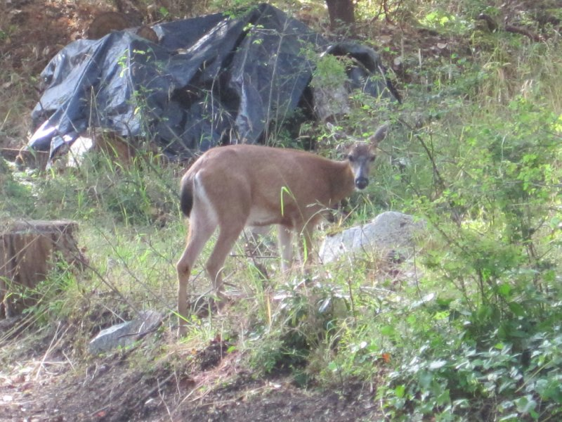 Deer, Victoria, British Columbia