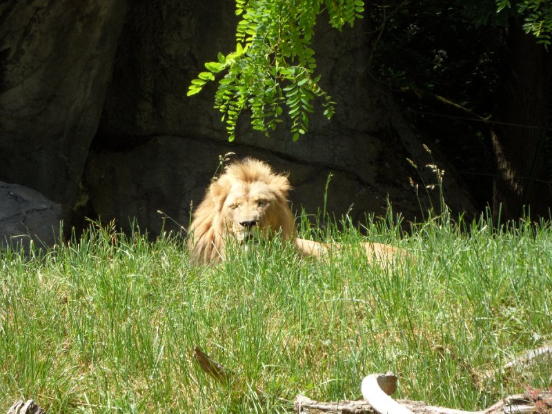 Lion at Woodland Park Zoo, Seattle
