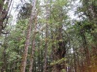Rainforest at Tofino, British Columbia