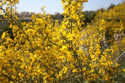 Qala'at Salah ad-Din - Yellow flowers