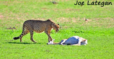 cheetah kill1 copy