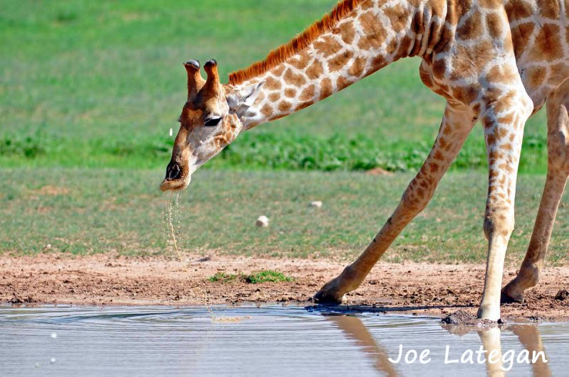 Giraffe drinking at waterhole in Kalahari