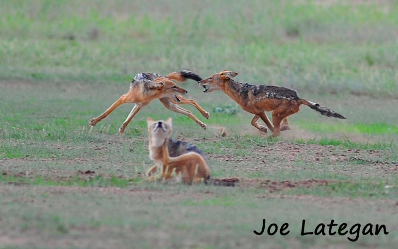 Jackal playing at full speed