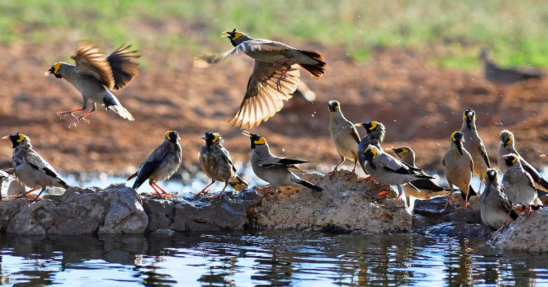 Nervous Starlings at water hole in Kgalagadi
