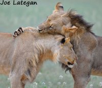 Lions play fighting