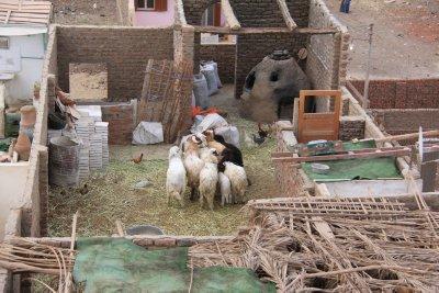 110403_Shi..__Goats.jpg