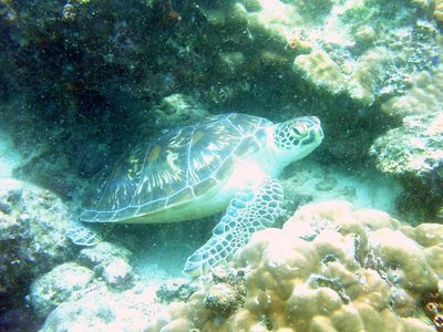 Green Sea Turtle on Nat's Reef