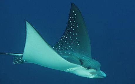 Spotted Eagle Ray on the L.S.T.