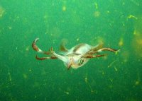 Squid in Subic Bay