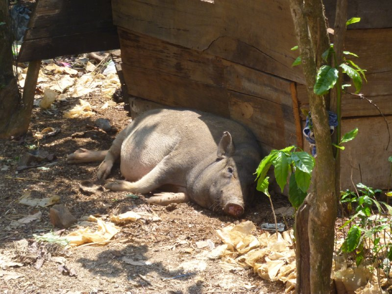 large_10_pig_in_phi_to.jpg