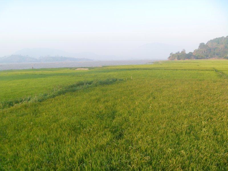 large_33_rice_fields.jpg