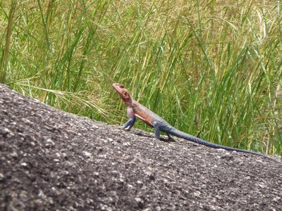 Psychedelic Lizard