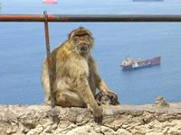 Monkey on top of Gibraltar.