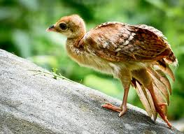Peafowl.jpg