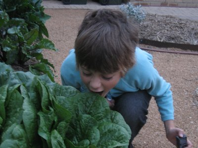 Michael may have a packet of lollies in his hand but his real love is green vegetables. This is cos lettuce in Grannat's garden.