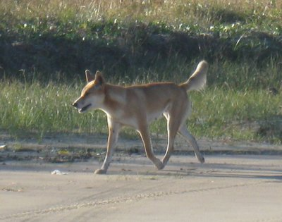 Fraser Island dingo, the purest bred dingoes in Australia, at 75 Mile Beach. There is controversy over how they should be treated as aggressive dingoes have attacked people.