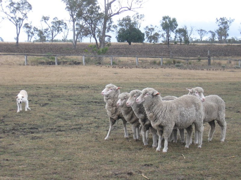 Sheep dog at work at Jondaryan