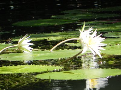 179Water lilly
