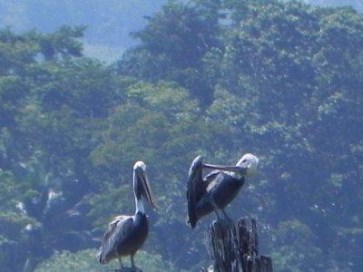 Pelican and pelican't